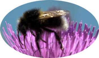 bizzy-bee at Durlston Country Park Coastal walk