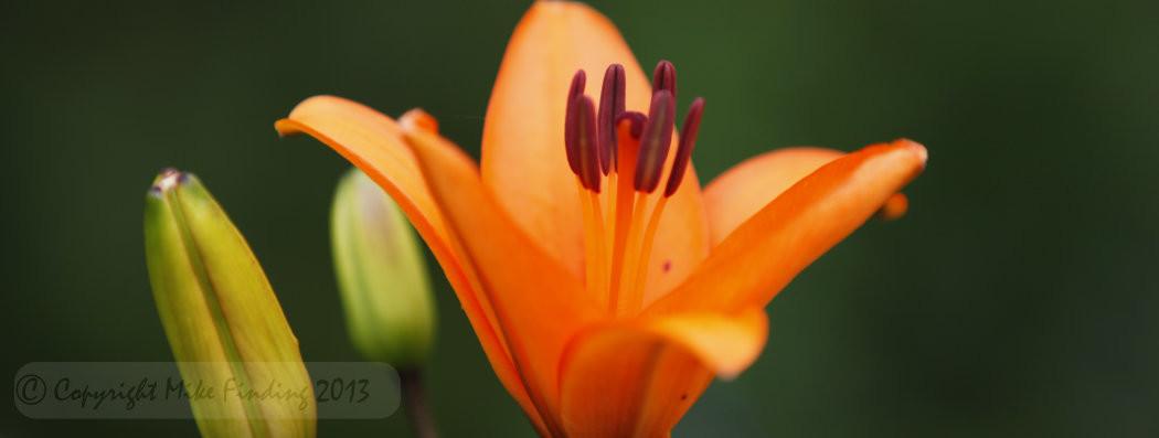 garden-lily