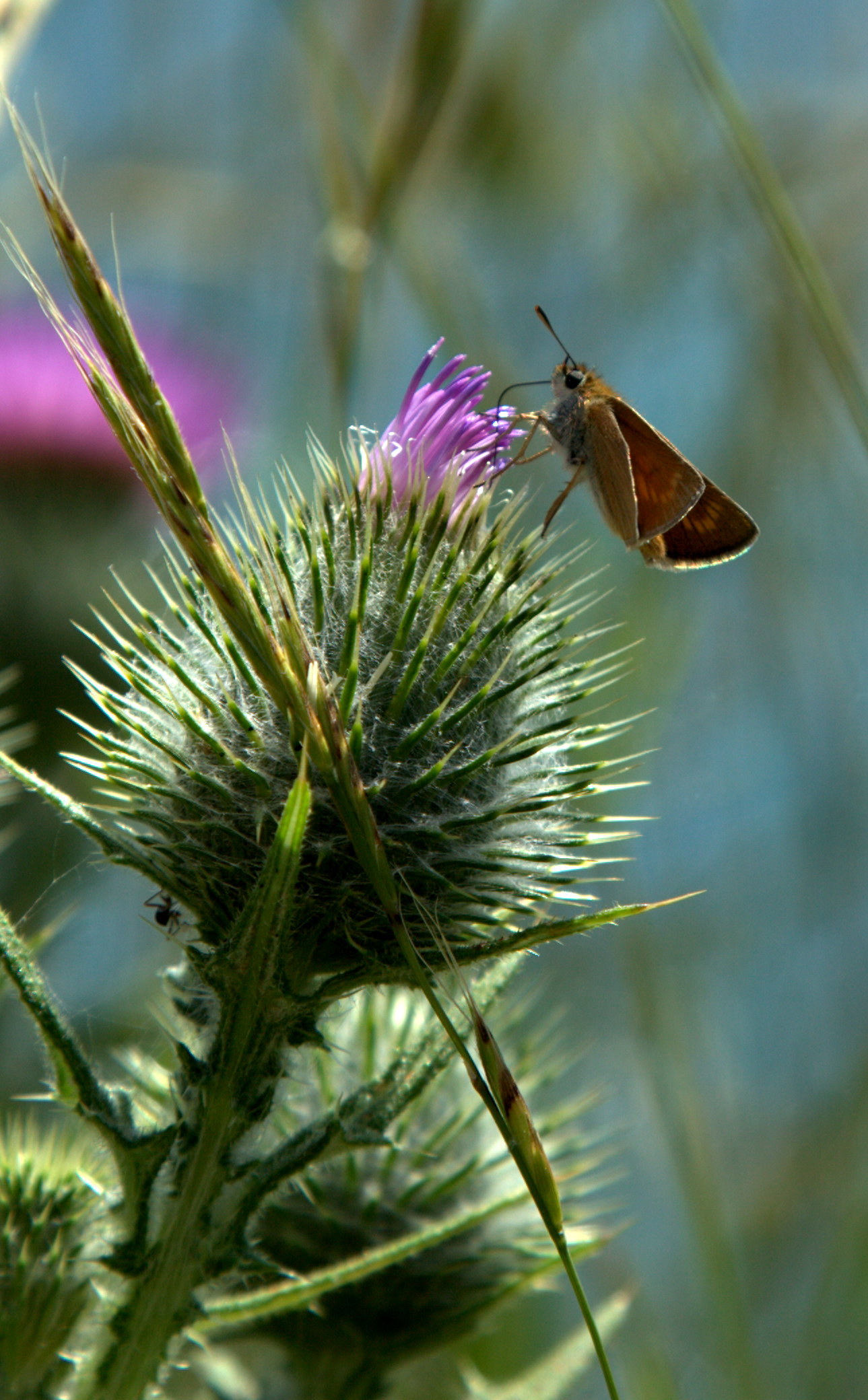 moth-thistle
