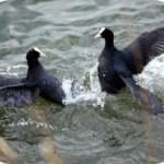 Radipole Lake territorial scrap - photo